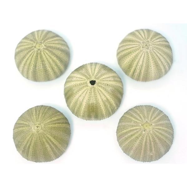 グリーンウーチン 約4〜6cm/5個入 貝 ウニ ランプ LED エアープランツ グリーン ハンドメイド