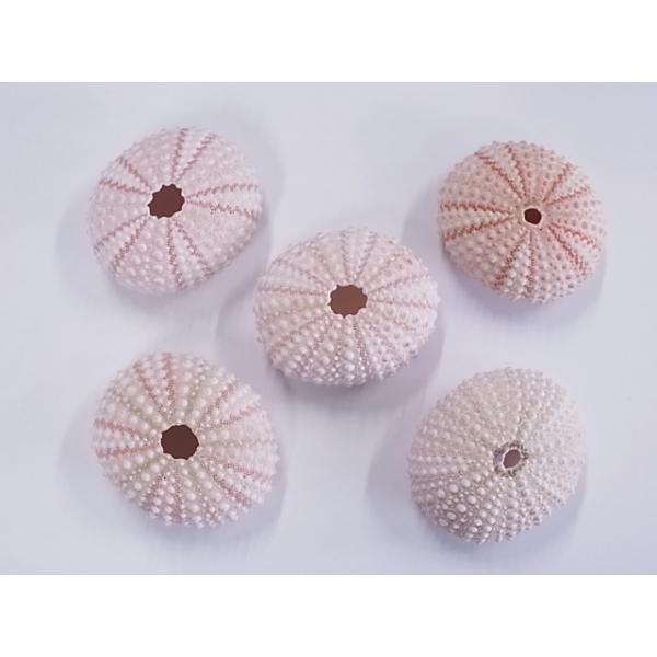 ピンクウーチン 約4〜6cm/5個入 貝 ウニ ランプ LED エアープランツ ピンク ハンドメイド