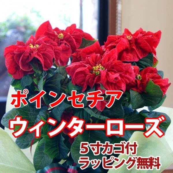 ポインセチア 送料無料 ウインターローズ 鉢植え 赤 レッド 鉢 クリスマスツリー 飾り プリンセチア ポインセチア 鉢  クリスマスツリー 花ギフト 鉢植え