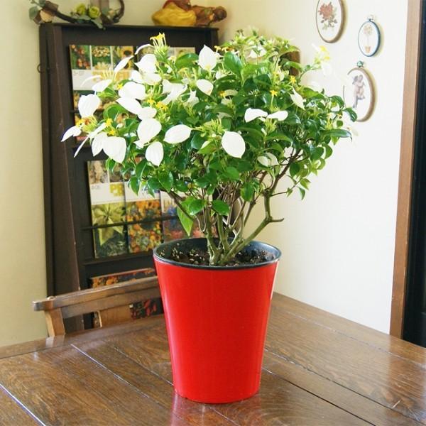 コンロンカ ハンカチの木 鉢植えの花 鉢植え 鉢植えの花 鉢植えの花 プレゼント バラ 木 おしゃれ 胡蝶蘭 木 屋外 苗 プレゼント 送料無料