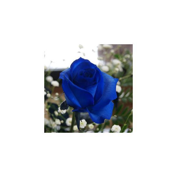 花 言葉 薔薇 青い