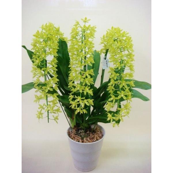 グラマトフィラム シンビジューム 蘭 鉢植え 観葉植物 インテリアグリーン プレゼント誕生日 結婚記念日 結婚祝い 画像 送料無料