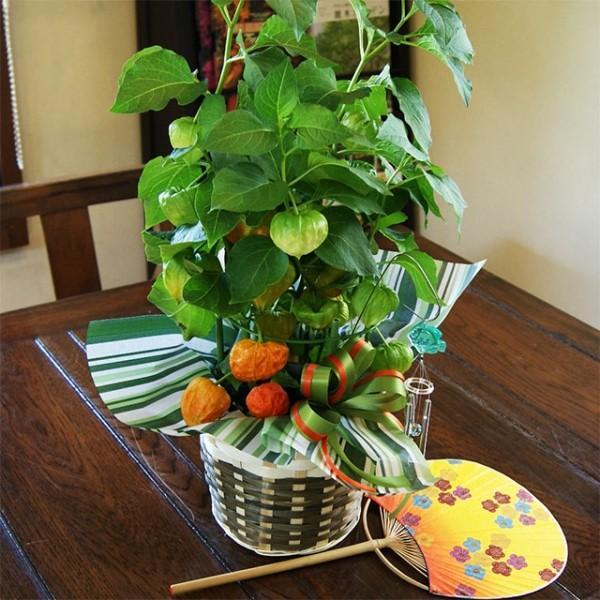 ほおずき 鉢植えの花 鉢植え 風鈴付き 5号鉢 バスケット入り 浅草 ほうずき お盆 新盆  食用 ホウズキ 鬼灯