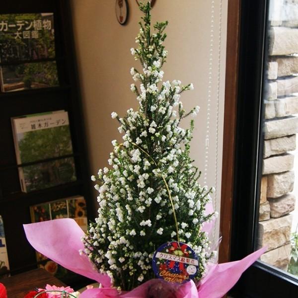 エリカ 鉢 スズランエリカ 特大 6号 尺 クリスマス 絵梨花 鉢植え 高さ 約80〜90cm 篭無し 誕生日 結婚記念日 お歳暮 クリスマスエリカ 花ギフト
