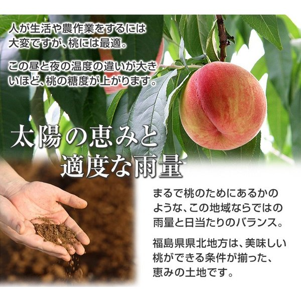 8月下旬頃発送分 桃 ギフト フルーツ 福島 予約 白桃系品種 特秀品 1.8kg 5から7玉入 1箱 もも モモ 果物 送料無料 8月17日以降 収穫次第発送|kamasho|07