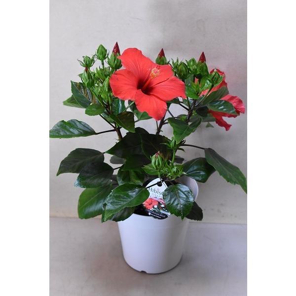 ハイビスカス ニューロングライフアリオン 5号鉢 鉢花 花木