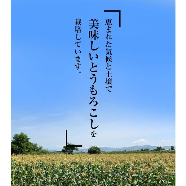 (送料無料)白いとうもろこし 白くまコーン 10本入り 生食 北海道産スイートコーン 朝もぎ生とうきびお取り寄せ|kanitaro|05