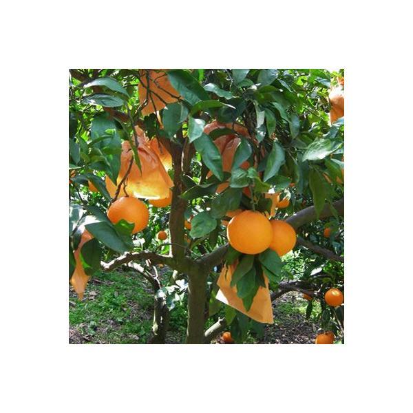 清見オレンジ4kg|kanjyukuya|03