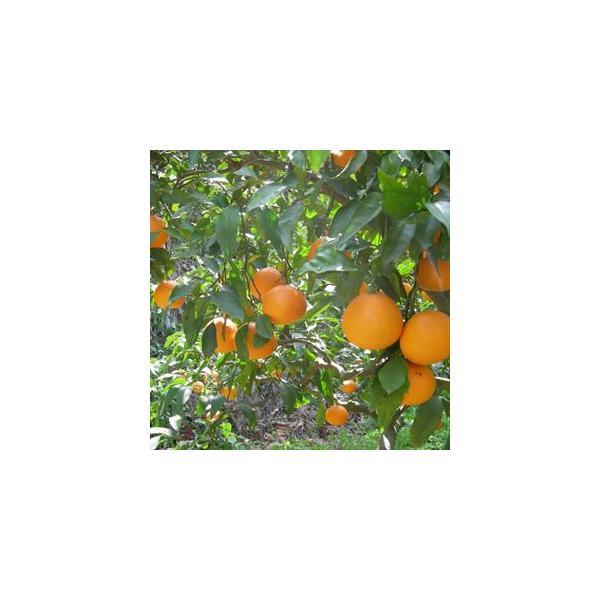 清見オレンジ4kg|kanjyukuya|05