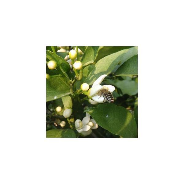 みかんの花のはちみつ330g×3本|kanjyukuya|02