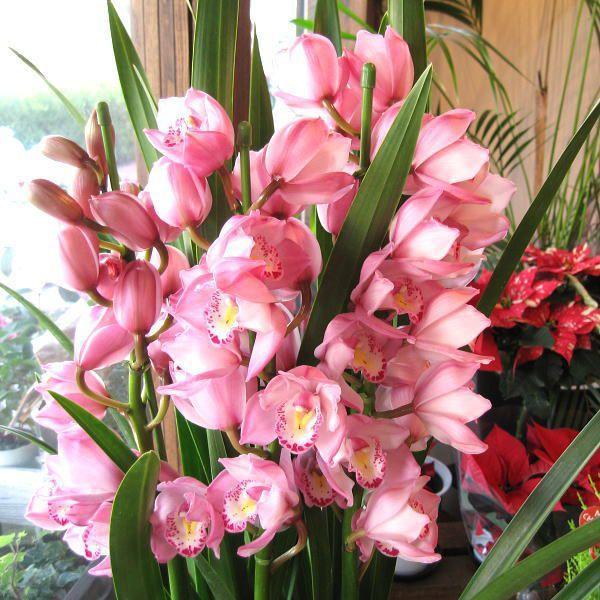 シンビジューム 5本立ち以上 鉢植え 洋蘭 洋ラン 送料無料 薫る花 ...