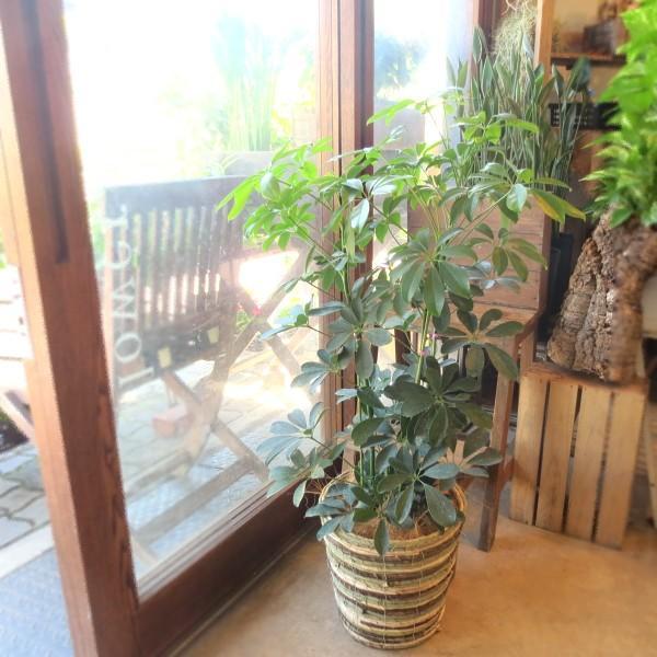 シェフレラ ホンコンカポック 7号鉢サイズ 鉢植え 観葉植物 ミニ インテリアグリーン プレゼント ギフト お誕生日 記念日 開店祝い 引越し祝い 香港カポック
