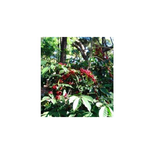 インド ポアブス農園 200g|karuizawa-coffee|02