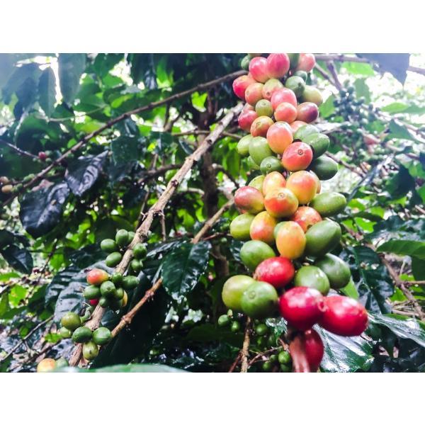 (カフェインレス) インドネシア バリ アラビカ神山 200g|karuizawa-coffee|02