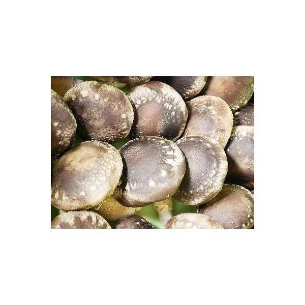 露地栽培 完全無農薬 こだわりの原木椎茸 特選Mサイズ 700g(19〜30枚入り) karus 02