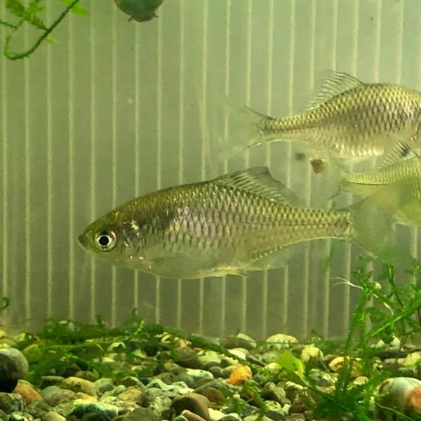 (淡水魚)ニッポンバラタナゴ(1匹) 生体