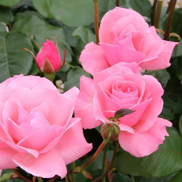バラ 「クイーンエリザベス」 秋苗 (大苗) ピンク系  四季咲 (H.T)ラマーツ 大輪バラ バラ苗 薔薇 (202108)