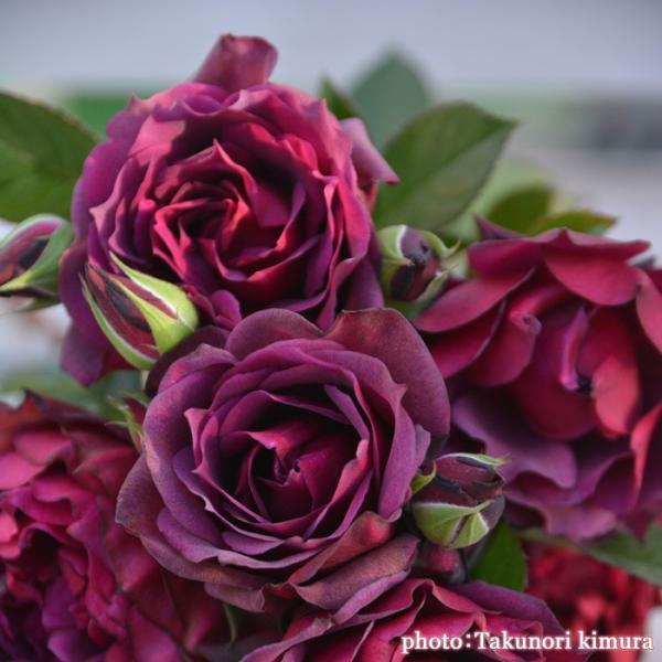 バラ 「ライラ」秋苗 (大苗) 赤色系  四季咲 (S) ロサオリエンティス バラ苗 薔薇 (202108)