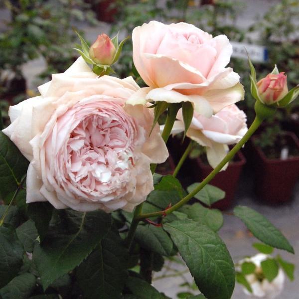 バラ 「鏡花® きょうか」 秋苗 (大苗) ピンク系  四季咲 (H.T)  F&Gローズ ネオモダン バラ苗 薔薇 (202108)