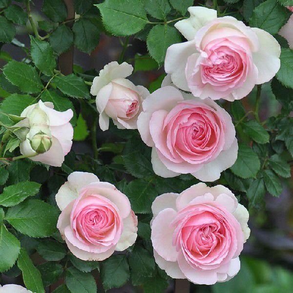バラ 「ピエールドゥロンサール」秋苗 (大苗) ピンク系  つるバラ  返り咲 (CL) クライミングローズ バラ苗 薔薇 (202108)