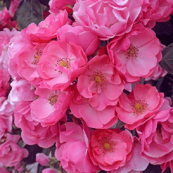 バラ 「アンジェラ(CL)」 秋苗 (大苗)  四季咲 つるバラ クライミングローズ バラ苗 薔薇 (202108)