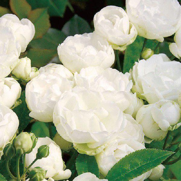 バラ 「シュネープリンセス」秋苗 (大苗) 白色系  四季咲  (Pol) ポピュラーローズ バラ苗 薔薇 (202108)