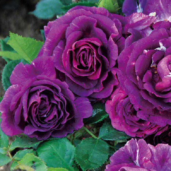 バラ 「ミステリューズ」 秋苗 (大苗) 紫色系  返り咲 ドリュ バラ苗 薔薇 (202108)