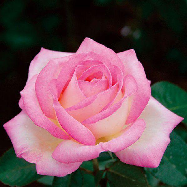 バラ 「プリンセスドゥモナコ」 秋苗 (大苗) ピンク系  四季咲  (H.T) ポピュラーローズ 大輪系 バラ苗 薔薇 (202108)