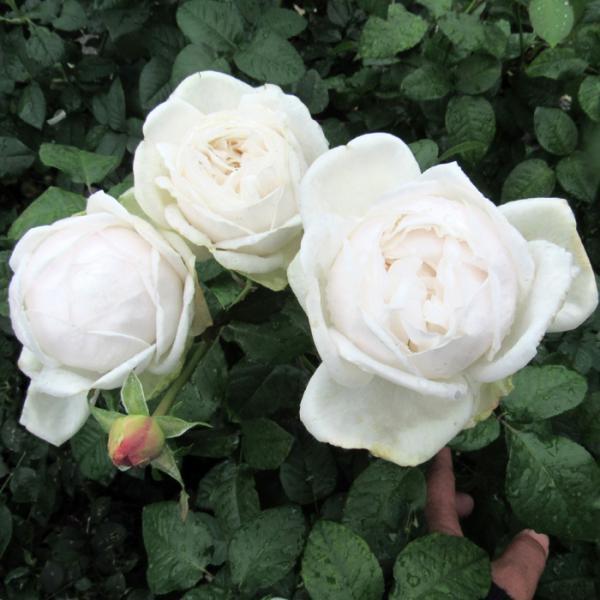 バラ 「ジョリフィーユ」 秋苗 (大苗) 四季咲  (HT) ネオモダン バラ苗 薔薇 (202108)