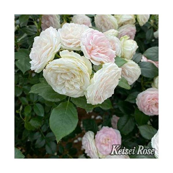 バラ 「クラリス」  秋苗 (大苗) 白色系  四季咲 [Clarice](S) タンタウ バラ苗 薔薇 (202108)
