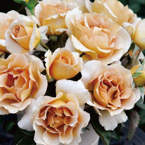 バラ 「エバンタイユドール」秋苗 (大苗) 黄色系  四季咲  (H.T) 河本バラ 園ブランドローズ バラ苗 薔薇 (202108)