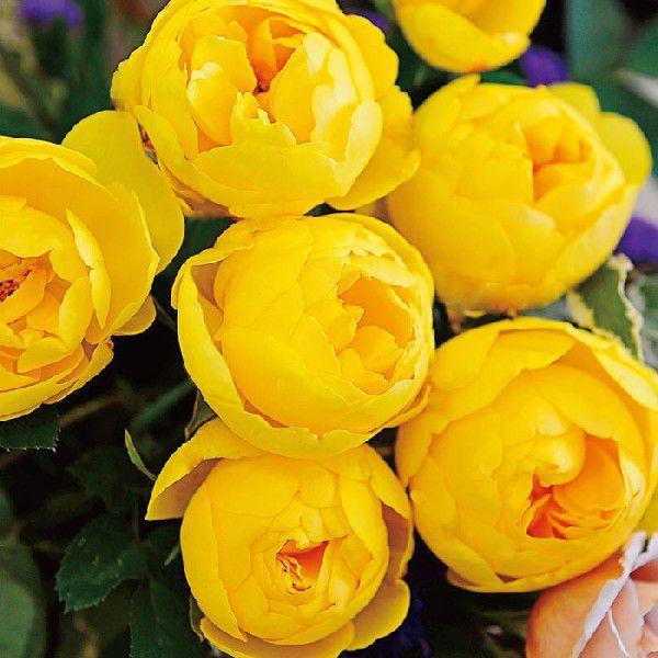 バラ 「ルミエール」秋苗 (大苗) 黄色系  四季咲 (S) バラ苗 薔薇 (202108)