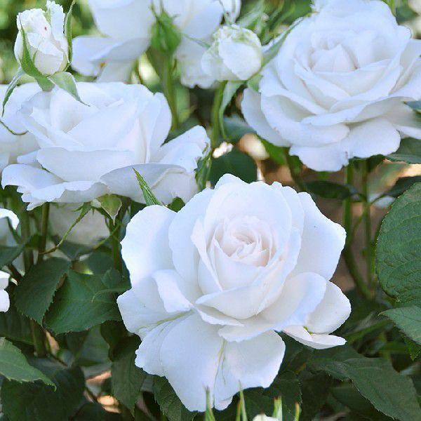 バラ 「アンナプルナ」 秋苗 (大苗) 四季咲 (H.T) ドリュ バラ苗 薔薇 (202108)