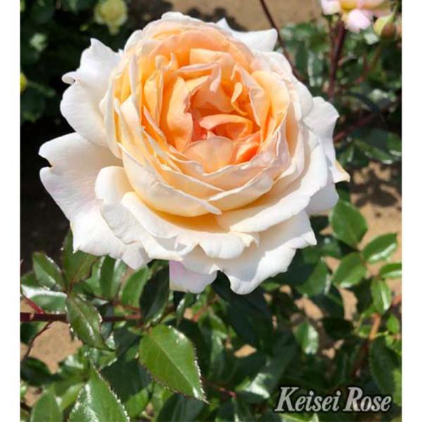 バラ 「GDルイーズ」  秋苗 (大苗) アプリコットピンク 四季咲 コルデス バラ苗 薔薇 (202108)