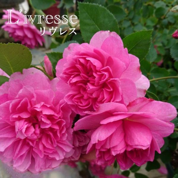 バラ 「リヴレス」春苗 (新苗) ピンク系  四季咲 [L'ivresse](S) F&Gローズ ローズアロマティーク バラ苗 薔薇 (202108)
