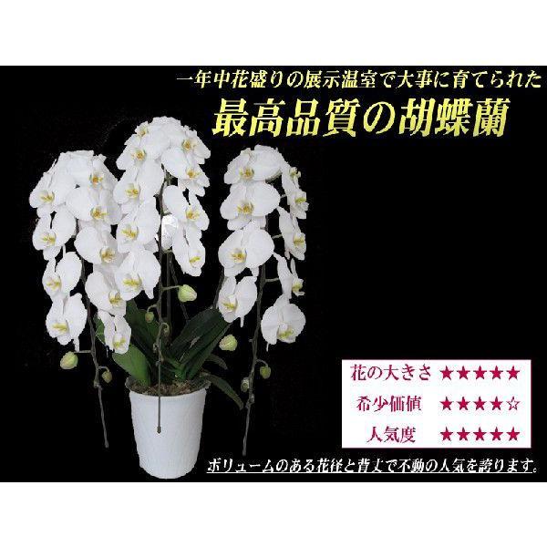 胡蝶蘭 大輪3本立ち 20,000円 明日贈れる 選べる3色 白 ピンク 赤リップ  贈答用 お祝い ギフト お供え|kihana-shop|02