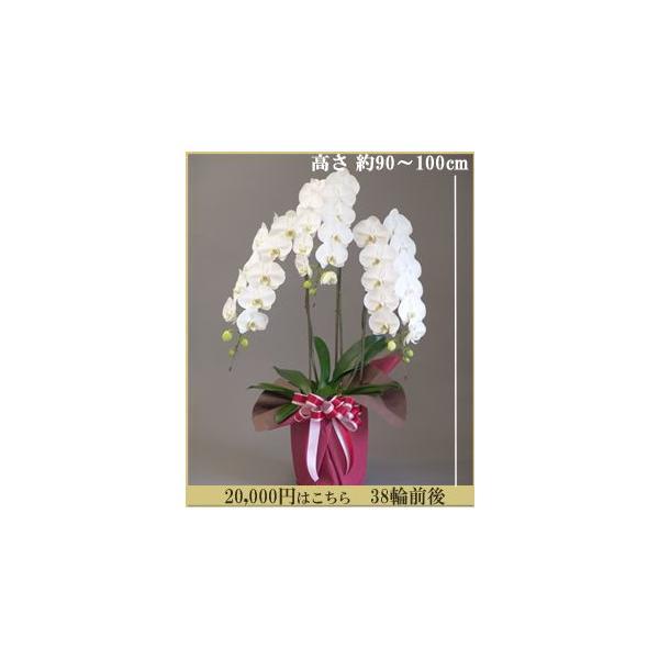胡蝶蘭 大輪3本立ち 20,000円 明日贈れる 選べる3色 白 ピンク 赤リップ  贈答用 お祝い ギフト お供え|kihana-shop|04