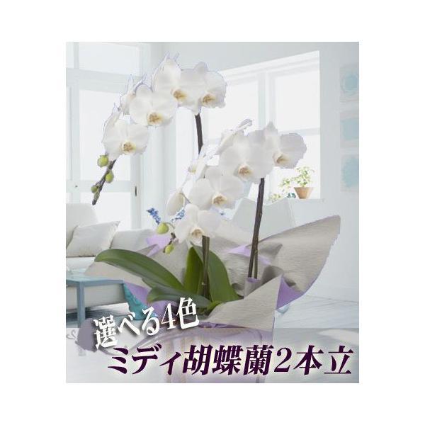 胡蝶蘭 ミディ 2本立 明日贈れる 贈答用 お祝い ギフト お供え|kihana-shop