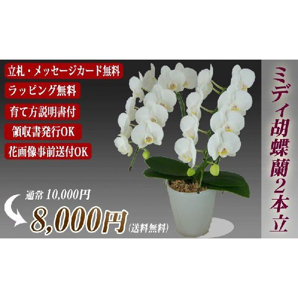 胡蝶蘭 ミディ 2本立 明日贈れる 贈答用 お祝い ギフト お供え|kihana-shop|02