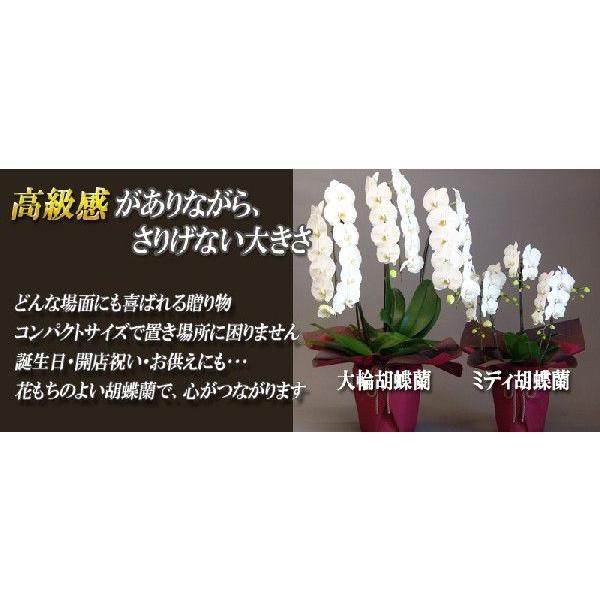 胡蝶蘭 ミディ 2本立 明日贈れる 贈答用 お祝い ギフト お供え|kihana-shop|05