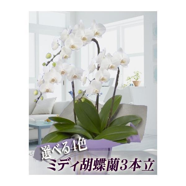 胡蝶蘭 ミディ 3本立ち 明日贈れる 贈答用 お祝い ギフト お供え|kihana-shop