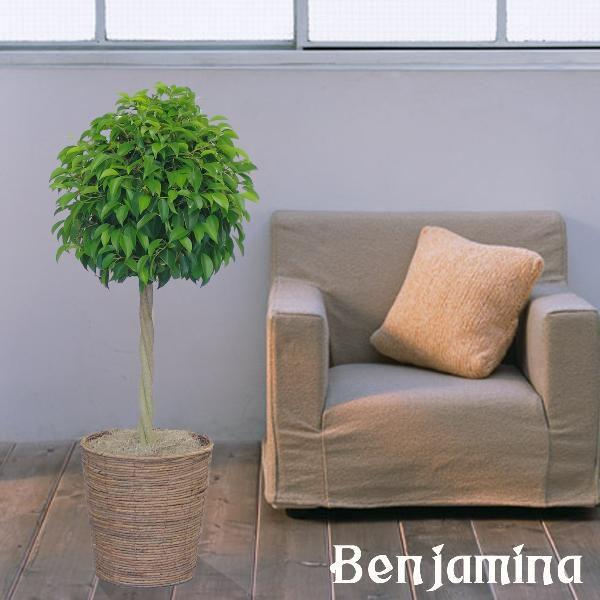 観葉植物 ベンジャミン トピアリー バスケット付き 送料無料 即日発送の輝華 開店祝い 新築祝いに輝花オススメ|kihana-shop