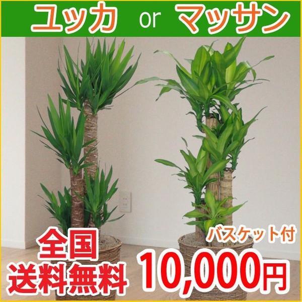観葉植物 マッサン・ユッカ 8号鉢 バスケット付き 送料無料 即日発送の輝華 開店祝い 新築祝い|kihana-shop