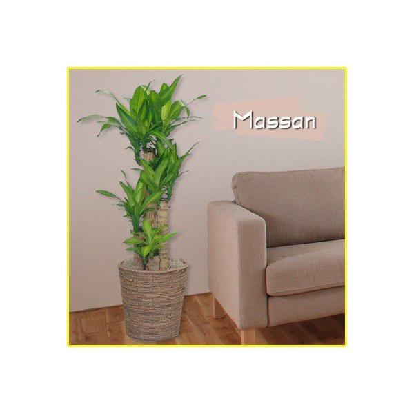 観葉植物 マッサン・ユッカ 8号鉢 バスケット付き 送料無料 即日発送の輝華 開店祝い 新築祝い|kihana-shop|02