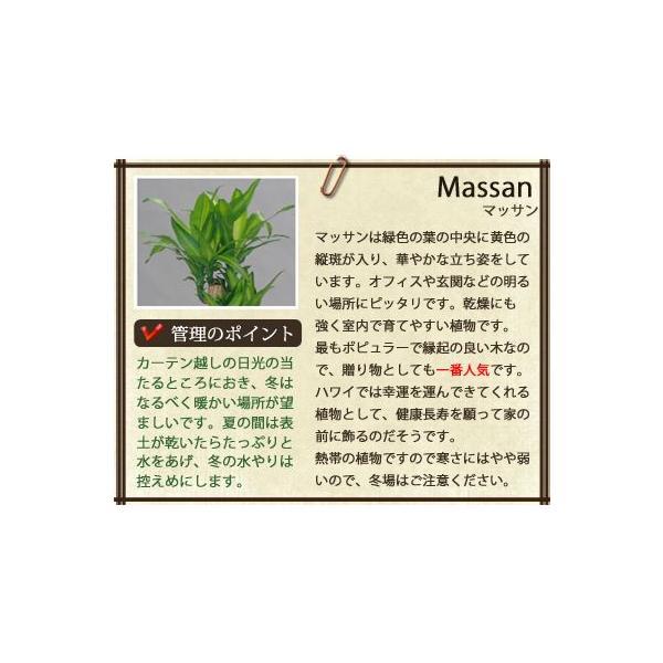 観葉植物 マッサン・ユッカ 8号鉢 バスケット付き 送料無料 即日発送の輝華 開店祝い 新築祝い|kihana-shop|05
