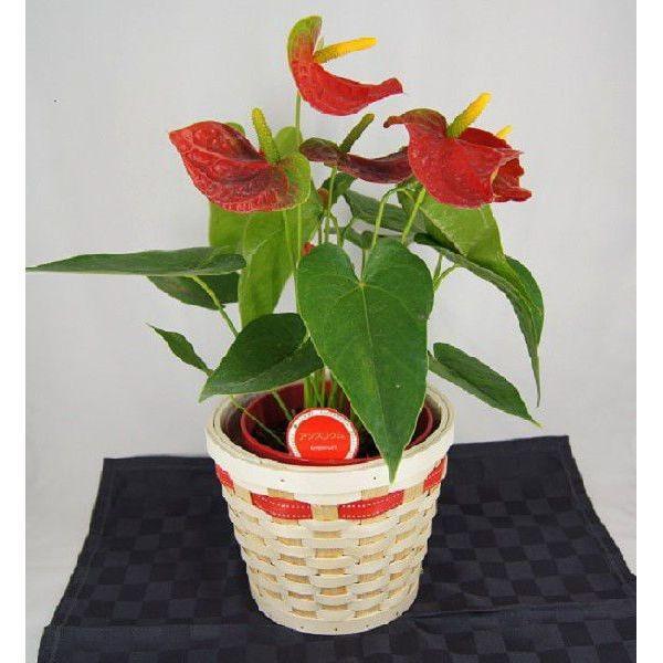 観葉植物 アンスリウム赤 バスケット付き 送料無料 開店祝い 新築祝いにオススメ|kihana-shop|02