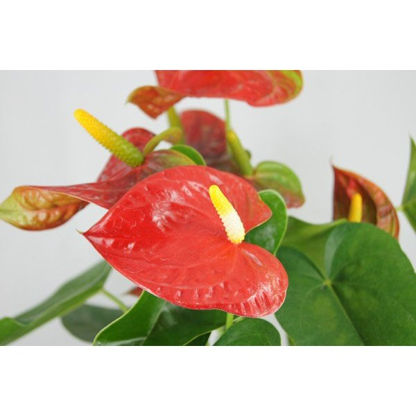 観葉植物 アンスリウム赤 バスケット付き 送料無料 開店祝い 新築祝いにオススメ|kihana-shop|03