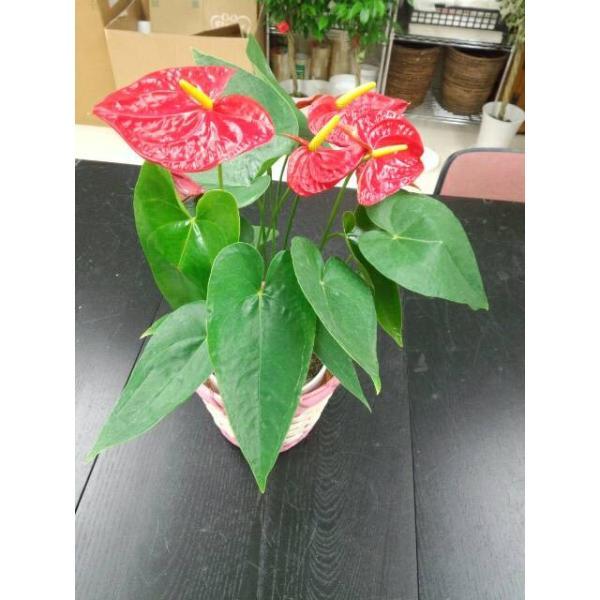 観葉植物 アンスリウム赤 バスケット付き 送料無料 開店祝い 新築祝いにオススメ|kihana-shop|06