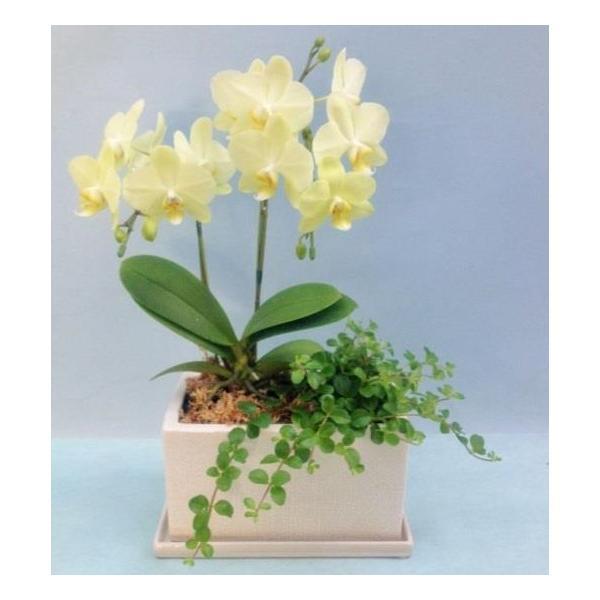観葉寄せミディ黄色2本立オリジナル陶器鉢(パルテノ鉢)|kihana-shop|02