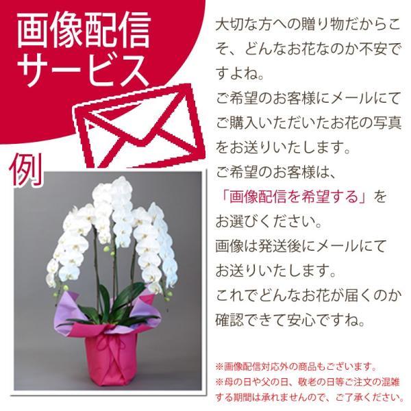 胡蝶蘭ランキング1位 3本立ち 明日贈れる 贈答用 お祝い ギフト お供え|kihana-shop|13